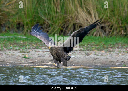 White-tailed eagle / sea eagle / erne (Haliaeetus albicilla) adult in flight catching fish in its talons from lake's water surface (part of sequence) - Stock Photo
