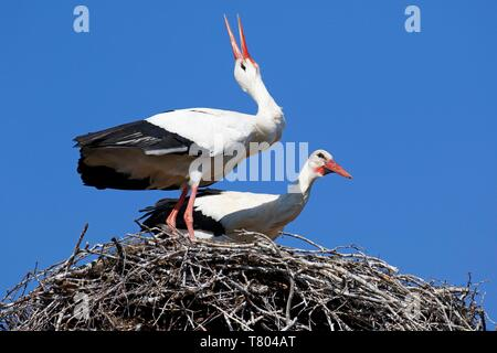 White storks (Ciconia ciconia), breeding pair in nest clatters in greeting, stork village Ruhstadt, Brandenburg, Germany - Stock Photo