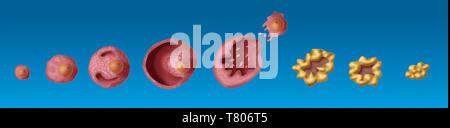Ovarian Follicles, Illustration - Stock Photo