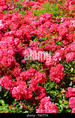 Amazing bush of wild pink roses with green leaves taken in the springtime. Rose, one of the most popular flowers, is a woody perennial flowering plant of the genus Rosa, in the family Rosaceae. - Stock Photo