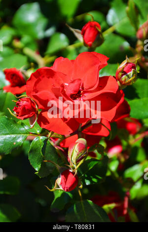 Amazing view of wild red roses taken close up on a sunny day with sun shining on the green leaves. The vertical nature photography has blurred background. Rose is one of the most popular flowers. - Stock Photo