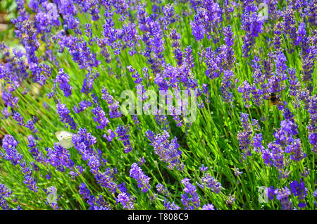 Beautiful blooming mealy sage, Salvia farinacea, taken close up. The amazing purple healing herb attracts butterflies and bumblebees. - Stock Photo