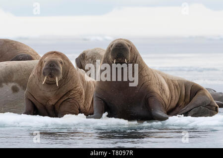 Atlantic walruses (Odobenus rosmarus), Vibebukta, Austfonna, Nordaustlandet, Svalbard Islands, Arctic, Norway, Europe - Stock Photo