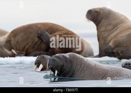 Atlantic walruses (Odobenus rosmarus), Vibebukta, Austfonna, Nordaustlandet, Svalbard Islands, Arctic, Norway, Europe - Stock Photo