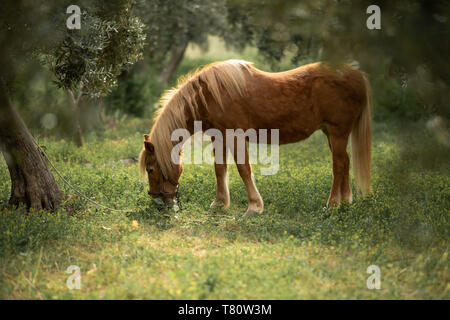 little brown pony eats grass in the garden. - Stock Photo