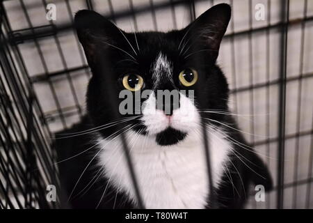 black and white feral cat stares pleadingly through cage bars at a local animal shelter - Stock Photo