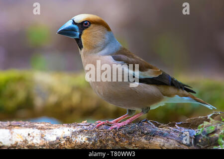 Male Hawfinch posing near a mossy pond in spring - Stock Photo