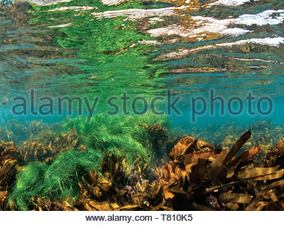 Picture of Kelp forest in shallow water, Anacapa, Channel Islands of California, United States of America, North America - Stock Photo