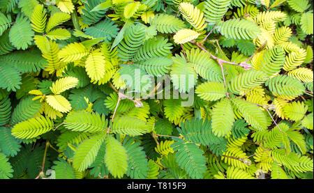 Leaves of Mimosa pudica sensitive plant, sleepy plant - Stock Photo