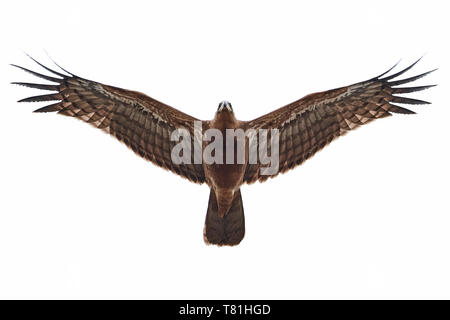 Juvenile African harrier hawk in flight - Stock Photo