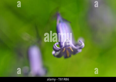I photographed this Bluebell (Hyacinthoides non-scripta) in Grove Wood in Bristol near to my home with a 50mm lens and extension tube. - Stock Photo