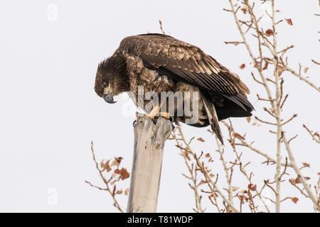 Golden Eagle II - Stock Photo