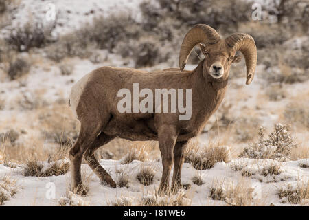 Rocky Mountain Bighorn Ram - Stock Photo
