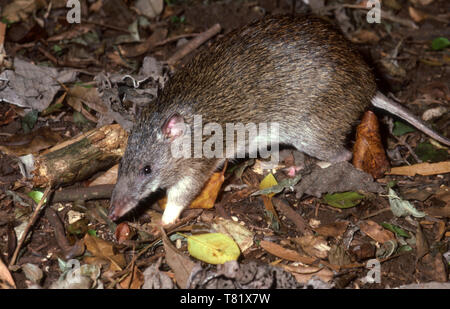 Long-nosed potoroo (Potorous tridactylus) Bunya Mountains, Great Dividing Range, Southern Queensland. - Stock Photo