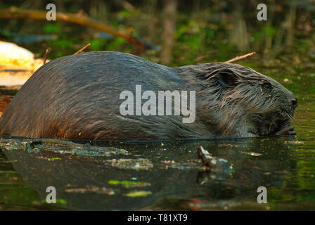 A photo close up of a European Beaver (Castor fiber) sitting in shallow water. Clearly visible all fur details and eyes. Polish in July. Close, horizo - Stock Photo