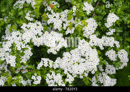 Common Hawthorn tree (Crataegus monogyna), AKA Quickthorn, Thornapple, May-tree, Whitethorn, Hawberry in Spring (May) in West Sussex, UK. - Stock Photo