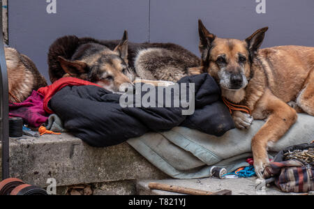3 Dogs lie asleep and snoozing on doorstep. The belong to a homeless man and wait patiently by his possessions while he is away. - Stock Photo