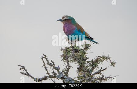 beautiful lilac breasted roller sitting on tree top in masai mara - Stock Photo