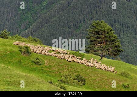 Georgia, Kakheti, Tusheti National Park, Omalo, shepherd and his flock of sheep - Stock Photo