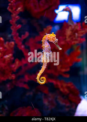 Sea horse in aquarium. These seahorses live in the warm seas around Indonesia, Philippines and Malaysia. They are usually yellow and have an unusual b