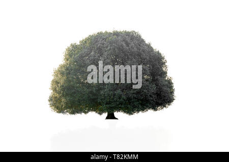 Big old tree isolater in white background. - Stock Photo