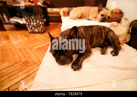 Dogs rest at home. Beautiful french bulldog lying, enjoying, relaxing and sleeping on bed blanket in living room of house. Cute doggy, pretty. - Stock Photo