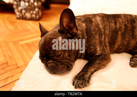 Dog rest at home. Beautiful french bulldog lying, enjoying, relaxing and sleeping on bed blanket in living room of house. Cute doggy, pretty, domestic - Stock Photo