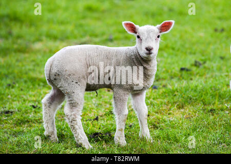 A small lamb grazing on the grass in England. - Stock Photo