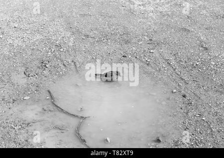 A little bird is playing in a puddle of water (Bacharach, Germany, Europe) - Stock Photo