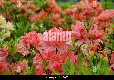 red rhododendron flowers on a background of green leaves in the spring warm day, closeup - Stock Photo