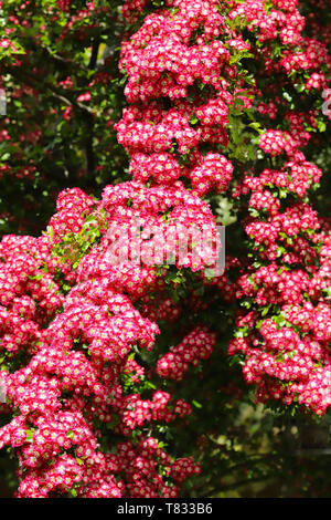 A beautiful Hawthorn Tree Crimson Cloud (Crataegus laevigata) in full bloom in early spring with a mass of pink and white flowers. - Stock Photo