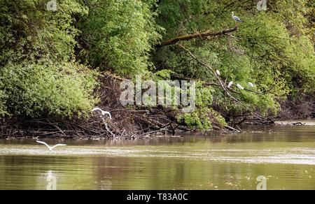 Small Egret (Egretta garzetta) fly over one of the Danube Delta Biosphere Reserve, Romania. The delta has the widest variety of bird species. - Stock Photo