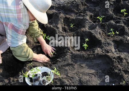 gardener planting a tomato seedling in the vegetable garden - Stock Photo
