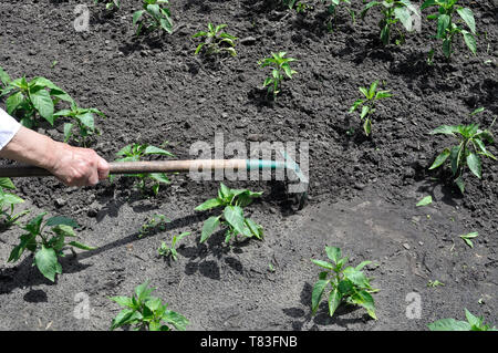 gardener raking pepper plantation - seasonal work in the vegetable garden - Stock Photo