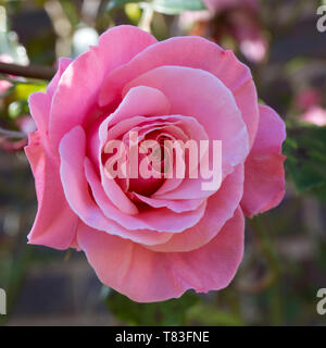 Dormansland, Surrey, England. Delicate flower of a perfect pink rose. - Stock Photo