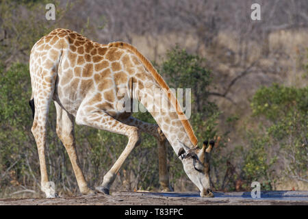 South African giraffe (Giraffa camelopardalis giraffa), adult male drinking at a waterhole with two red-billed oxpeckers (Buphagus erythrorhynchus), - Stock Photo
