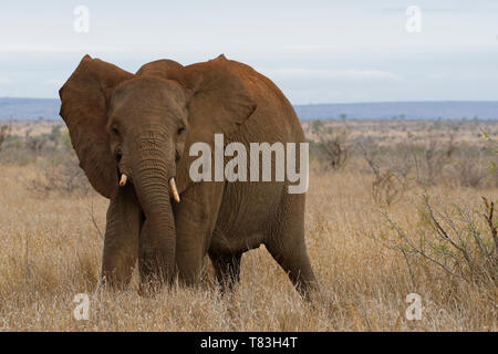 African bush elephant (Loxodonta africana), elephant cow in defensive position, Kruger National Park, South Africa, Africa - Stock Photo