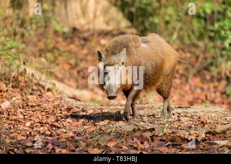 India, Uttarakhand, Jim Corbett National Park, Indian boar (Sus scrofa cristatus), adult male - Stock Photo