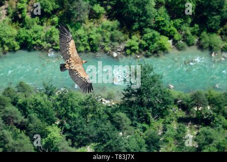 France, Alpes de Haute Provence, Parc Naturel Regional du Verdon, Grand Canyon of the Verdon river, La Palud Sur Verdon, point of view of the Dent d'Aire, Griffon Vulture (Gyps fulvus) in flight - Stock Photo