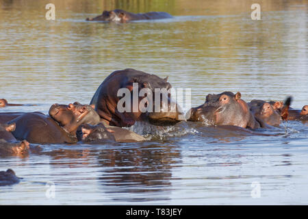 Hippopotamuses (Hippopotamus amphibius), herd with young hippos, bathing, piled one on the other, with an African jacana, Kruger NP, South Africa - Stock Photo