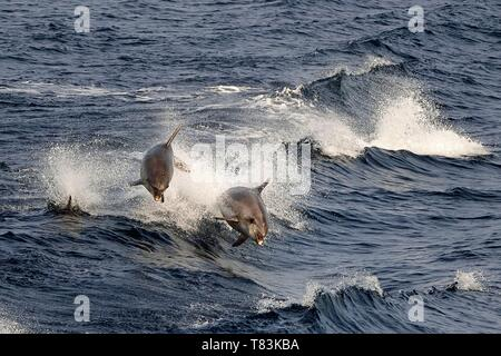 France, Var, Iles d'Hyeres, Parc National de Port Cros (National park of Port Cros), Porquerolles island, common bottlenose dolphin also called Atlantic bottlenose dolphin (Tursiops truncatus) - Stock Photo