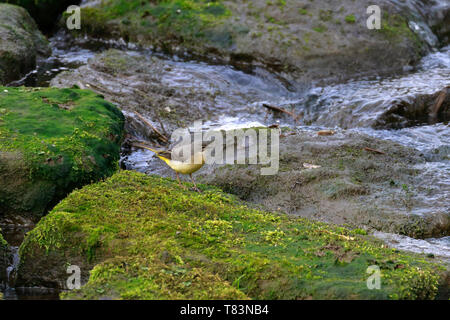 Grey Wagtail, Motacilla cinerea on a moss covered stone by water, England, UK. - Stock Photo