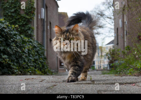 Leiden, Holland - April 4B, 2019: Long haired domestic tabby cat walking outside and looking into the camera - Stock Photo