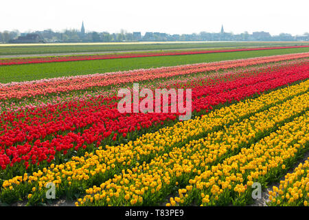 Lisse, Holland - April 18, 2019: Traditional Dutch tulip field with rows of red and yellow flowers and church towers in the background