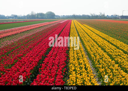 Lisse, Holland - April 18, 2019: Traditional Dutch tulip field with rows of red and yellow flowers and houses in the background