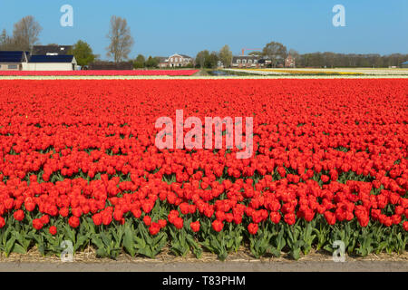 Lisse, Holland - April 18, 2019: Traditional Dutch tulip field with rows of red flowers and houses in the background