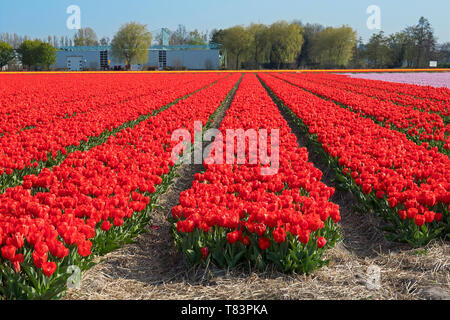Lisse, Holland - April 18, 2019: Traditional Dutch tulip field with rows of red  flowers and bulb sheds in the background