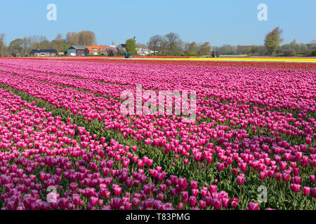 Lisse, Holland - April 18, 2019: Traditional Dutch tulip field with rows of pink flowers