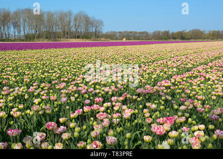 Lisse, Holland - April 18, 2019: Traditional Dutch tulip field with rows of pink and purple