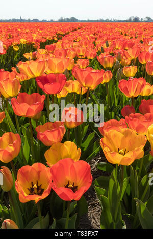 Lisse, Holland - April 18, 2019: Traditional Dutch tulip field with rows of red and yellow flowers